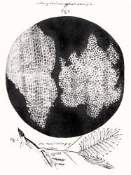 A copy of Robert Hooke's drawing of cork seen through a microscope..