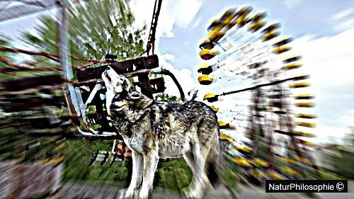 Where the Chernobyl Wolf Roams…