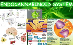 An infographic showing the endocannabinoid system inside the human brain and body, in particular the CB1 receptors. Source: Greengeo/Weebly.