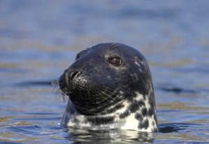 A close-up photograph of a common seal emerging from the water,