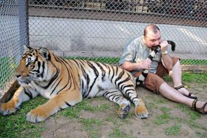 A man biting the tail of a live tiger.