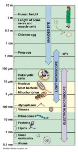 A scale showing the relative size of most bacteria (1 - 10 micrometres) and eukaryotic cells (10 - 100 micrometres) compared to atomic size (0.1 - 1 nanometre) at one end, to the average human height (under 2 metres ) at the other end.