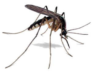 A picture showing the female Anopheles mosquito - the carrier of the malaria parasite.