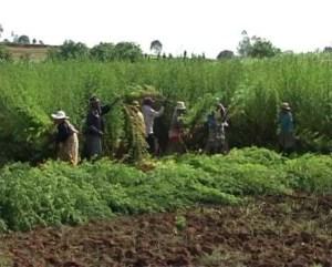 A photograph showing Malagasy farmers harvesting Artemisia annua.