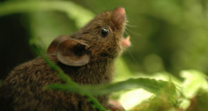 A photograph showing a singing mouse, Scotinomys teguina.