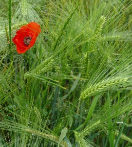 Mohn im Weizen