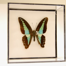 Butterfly in large box
