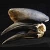 Black-casqued hornbill skull
