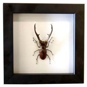 Frame-Stag-beetle-Cyclommatus-metalifer-finae