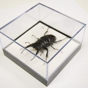 L Box Odontolabis dolmanni beetle