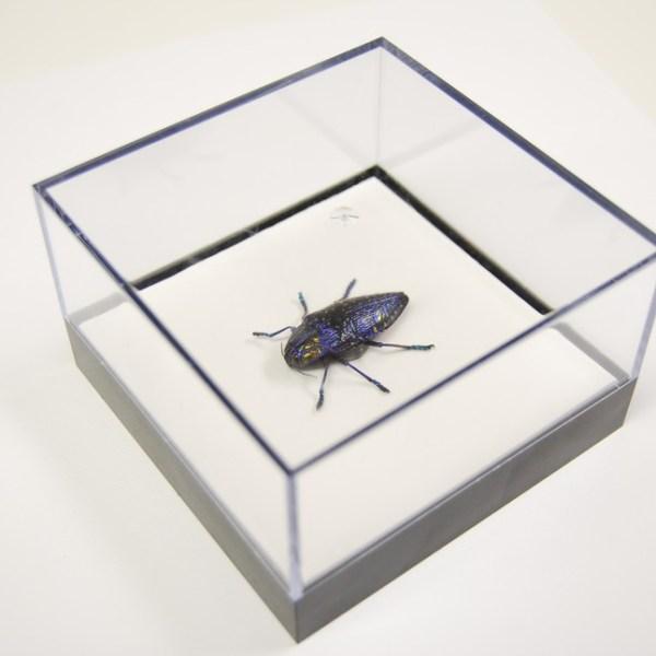 L Box Polybothris Sumptuosa Gema jewel beetle