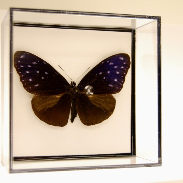 L Box Striped blue crow butterfly-Euploea mulciber