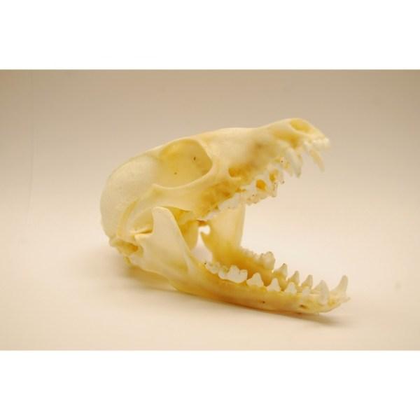 Skull Grey fox skull