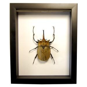 Frame-Megasoma-elephas-beetle