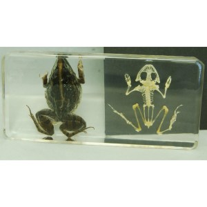 Frog and skeleton2
