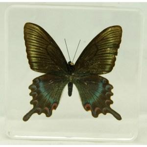 Maackii peacock