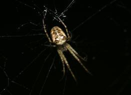 Kleines Artenportrait mit Text und Fotos von Metellina segmentata  Herbstspinne  Familie Dickkieferspinnen Streckerspinnen  Tetragnathidae
