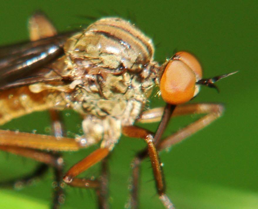 Kleines Artenportrait mit Text und Fotos von Empis livida  Helle Tanzfliege  Tanzfliegen  Empididae  Ordnung Zweiflgler  Diptera