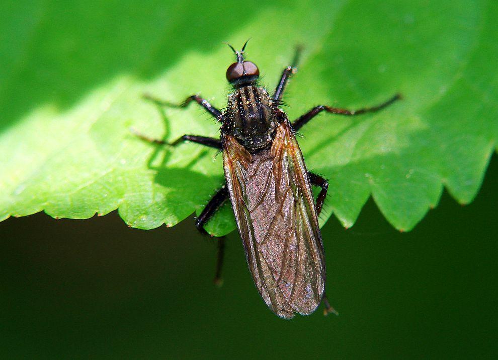 Kleines Artenportrait mit Text und Fotos von Empis tesselata  Gewrfelte Tanzfliege  Tanzfliegen  Empididae  Ordnung Zweiflgler