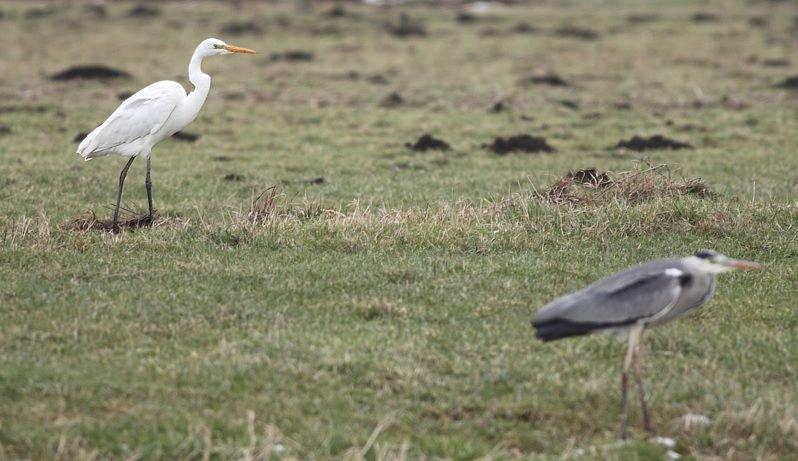 Will the great egret surpass the grey heron? Photo by Albert de Jong