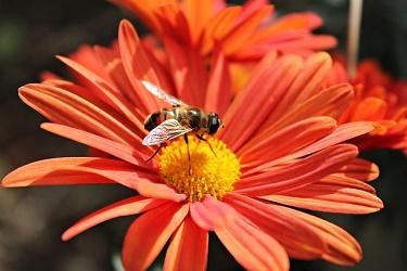 bij bloem