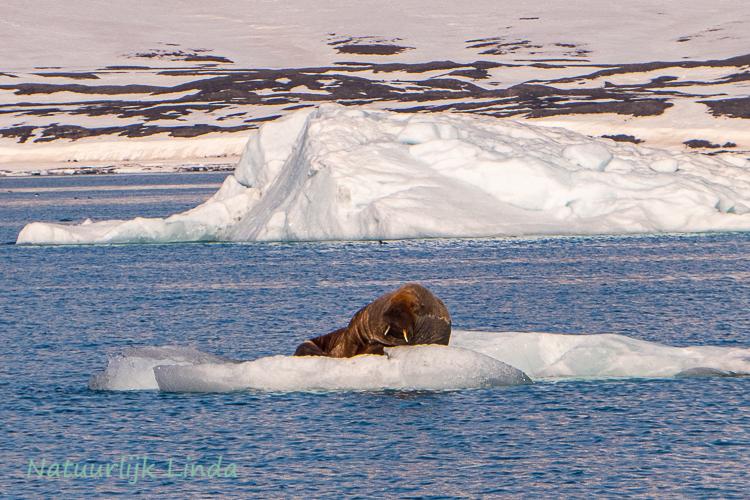 spitsbergen walrus natuurlijk Linda