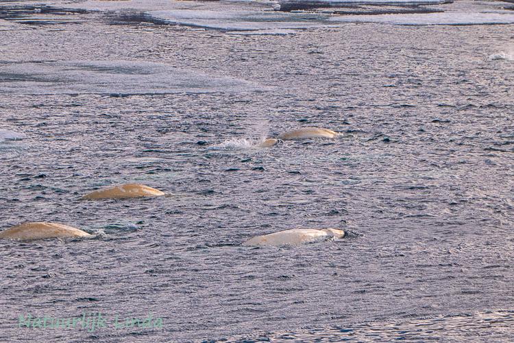 spitsbergen beluga's natuurlijk Linda