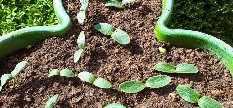 Ontkiemen courgetteplant komkommerplant