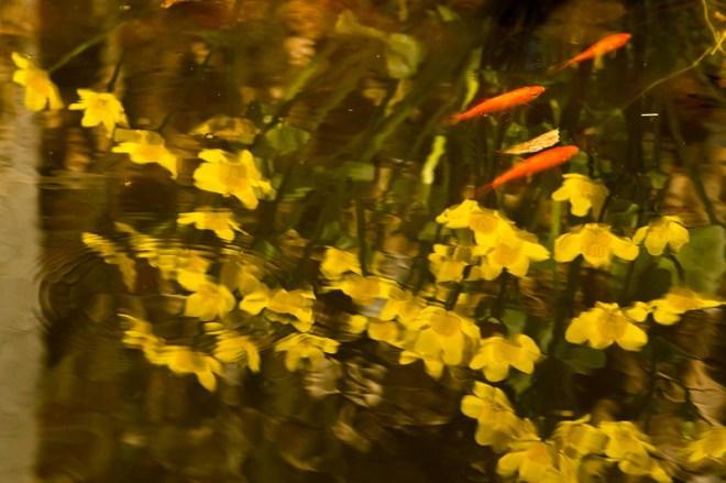 mijn goudvissen