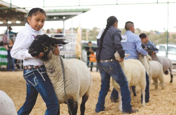 Navajo Times | Ravonelle Yazzie Kanin Bitsui, 9, shows her lamb to the judges at the 4-H show during the Navajo Nation Fair in Window Rock.