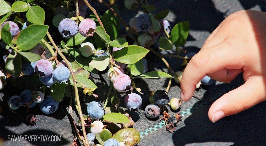 picking blueberries_logo