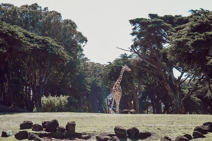 giraffe at San Francisco Zoo
