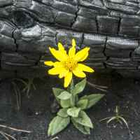 Orientation, Disorientation, Reorientation   The Navigators   A yellow wildflower grows in the ashes after a forest fire.