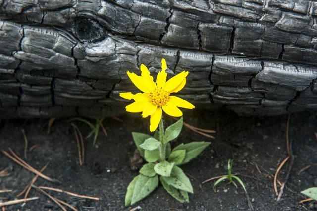 Orientation, Disorientation, Reorientation | The Navigators | A yellow wildflower grows in the ashes after a forest fire.