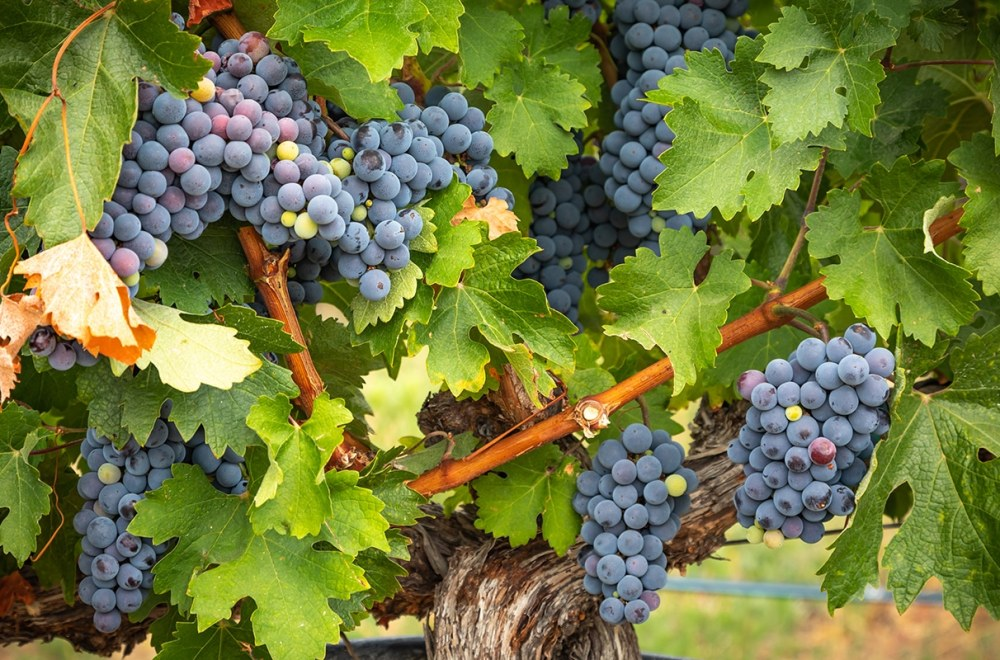 Abiding Together | Navigators Bible Study Resource | Lush Wine Grapes Clusters Hanging On The Vine