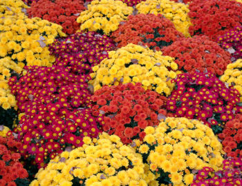 Fall Daisy Wallpaper Mums 101 Everything You Need To Know About Fall S