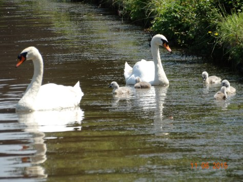 A family of swans with their new brood