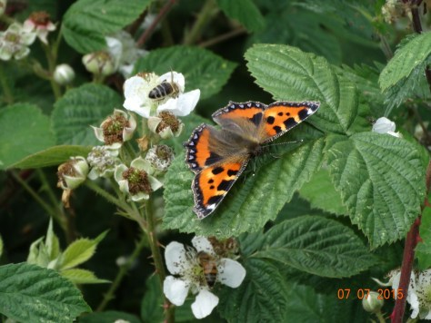 and finally a Small Tortoiseshell butterfly