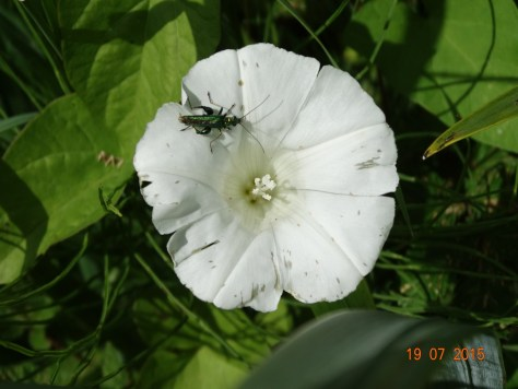 Hedge Bindweed with some wildlife attached!