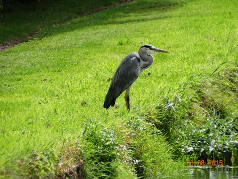 Lucky to see another heron much further along