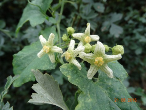 I thought this was Black Bryony too, but the flowers only have 5 sepals and not 6.