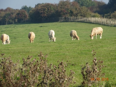 A line of white cattle