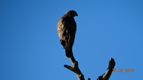 Buzzard looking for prey
