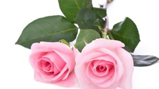 pink-roses-valentines-day-flowers_1515776493899_332004_ver1-0_31508321_ver1-0_640_360_400852