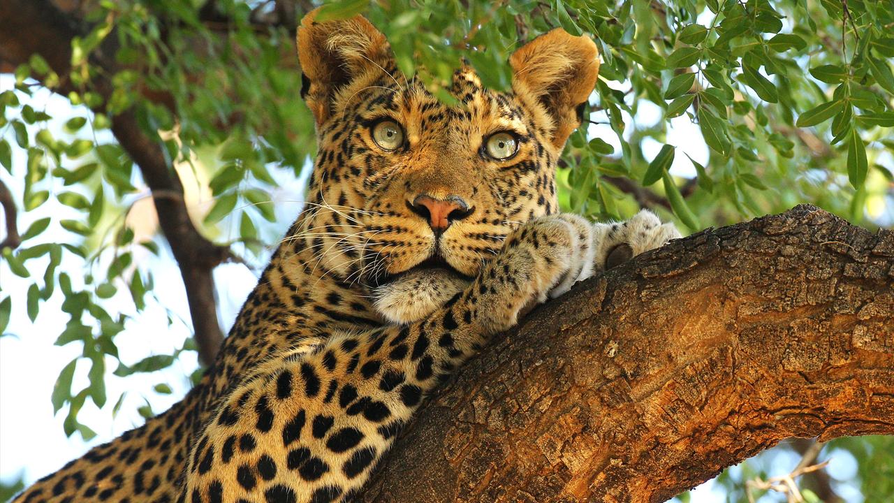 leopard_1525824929545.jpg