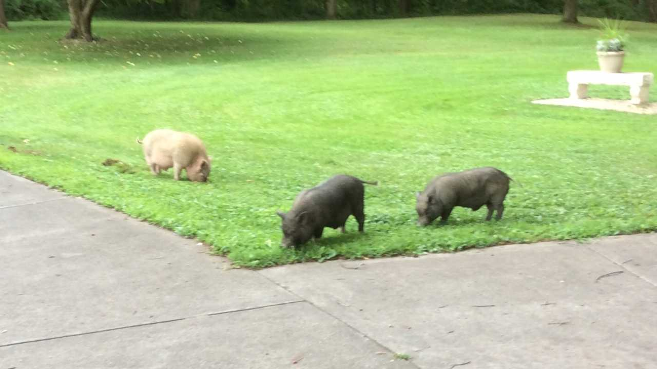 Wild pigs in Beaver Township-873777806