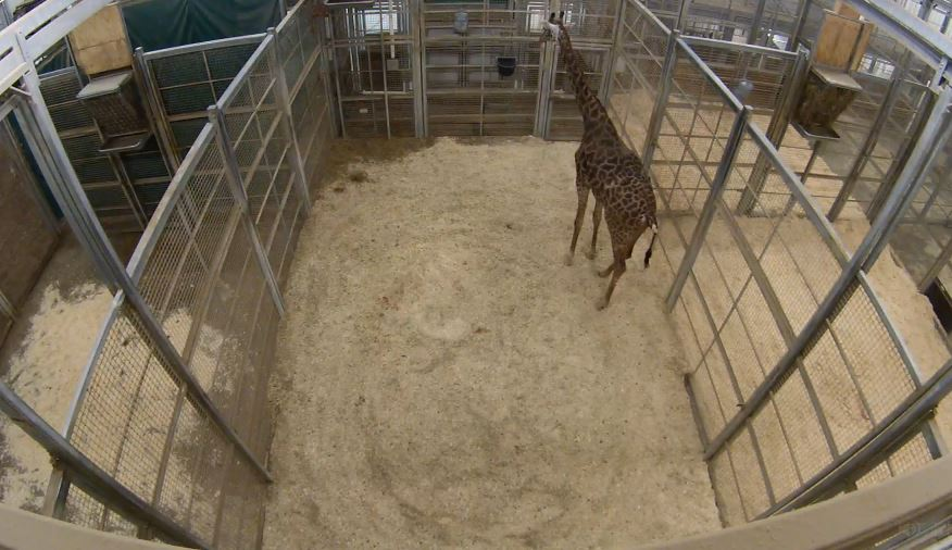 giraffe_1543959921988.JPG