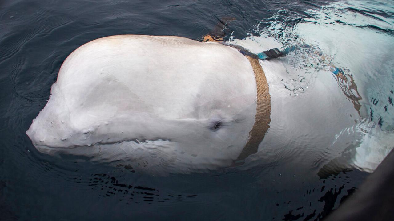 russian whale_1556541984777.jpg.jpg