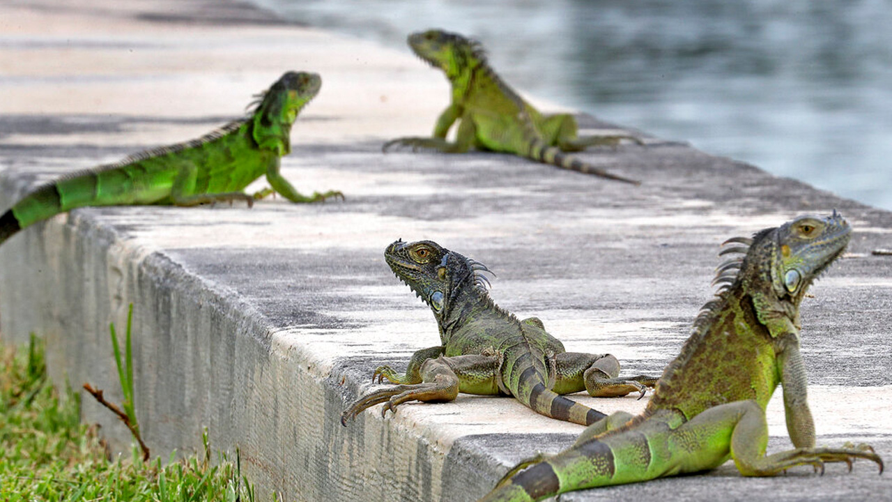 Reptile invasion: Florida agency encourages people to kill