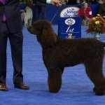 Irish Water Spaniel 2018 National Dog Show Sporting Group Nbc Sports